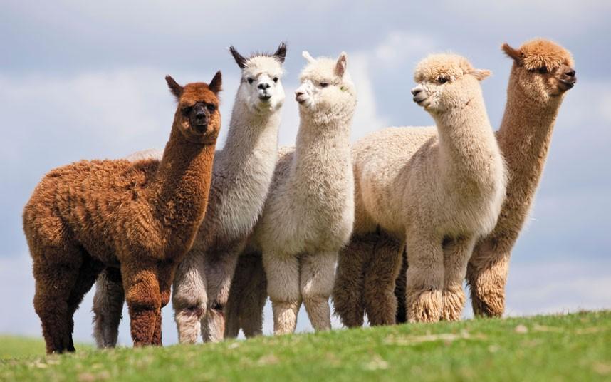 Đây là một loài động vật thuộc họ lạc đà Nam Mỹ. Lông Alpaca rất giống với len và cũng được sử dụng trong ngành dệt, may
