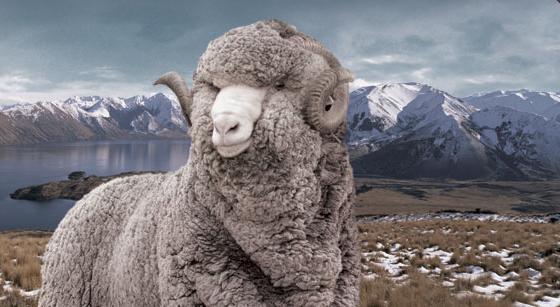 Có nguồn gốc từ giống cừu đặc biệt nhât, len Merino mềm nhất trong các loại lông cừu