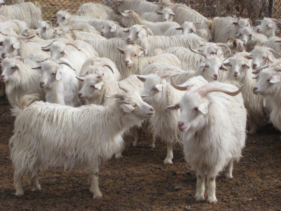 Loại len này được lấy từ lớp lông tơ của dê Kashmir (hay còn được gọi là Cashmere) trong đợt thay lông mùa xuân