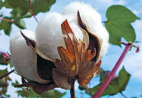 quả bông(cotton)để lấy xơ xe sợi dệt vải.